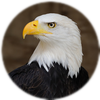 Small_1504194667-bald_eagle_portrait